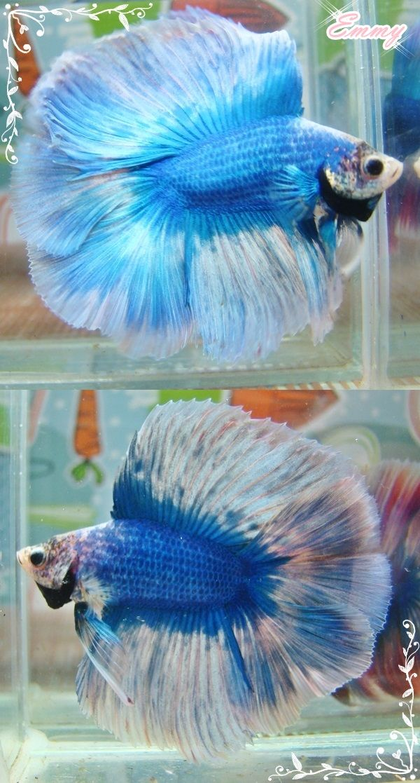 Marble Fullmoon Male