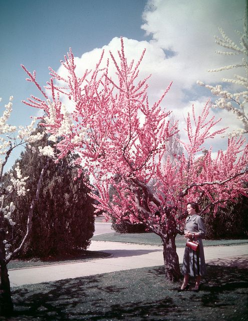 Peach blossoms in Canberra, Australia, 1955.