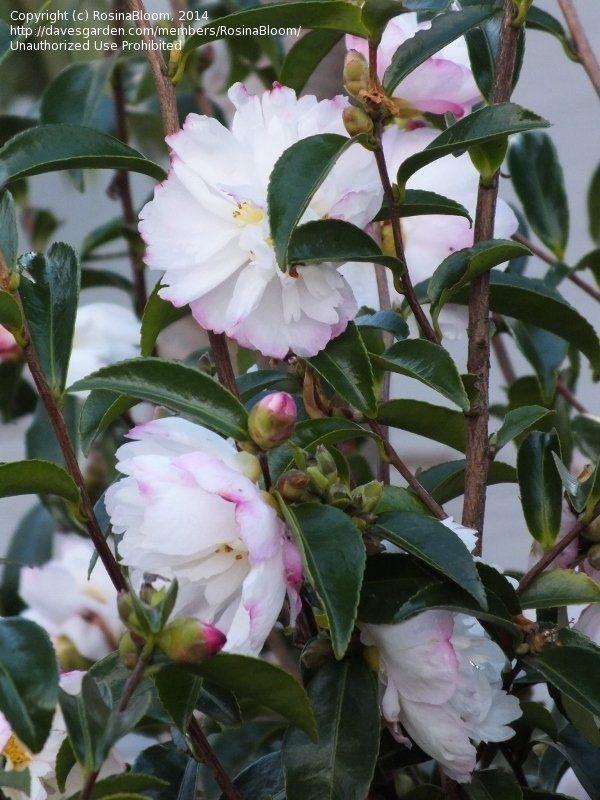 View picture of Sasanqua Camellia, Autumn Camellia 'Pure Silk' (Camellia…