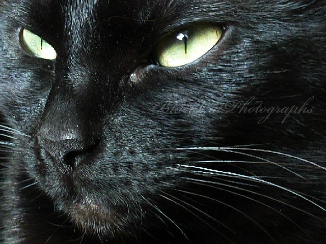 Black cat photo pet portrait ebony fur lime green and - Scary yellow eyes ...