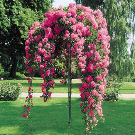 tree rose | Weeping Roses: Like a Standard Rose, these are also grafted onto a ...