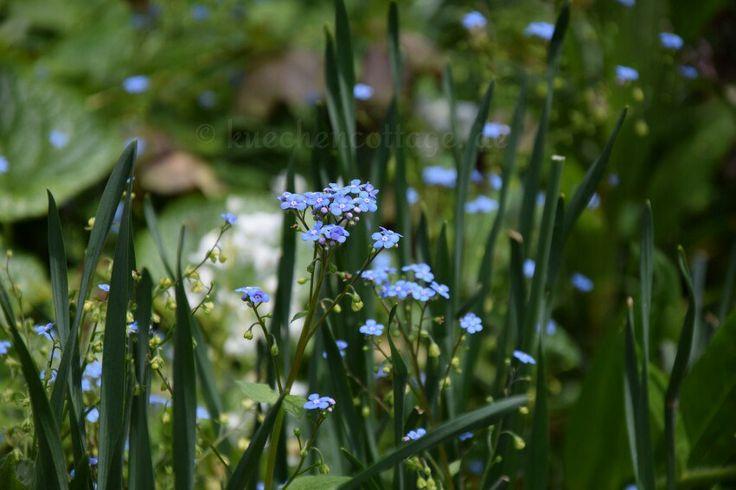 Hobbyfotografie Gallery auf  www.kuechencottage.de  #pflanzen #blumen #flowers #plants #wald #wiese #forest #vergissmeinnicht #blau