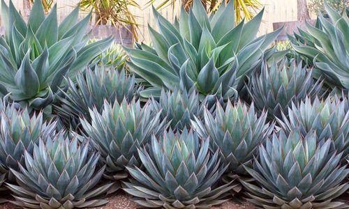 Garden ideas, Mediterranean plants, Water wise garden, Low maintenance garden, Agave Blue Flame, Blue Flame Agave, Agave Blue Glow, Blue Glow Agave, Blue agaves