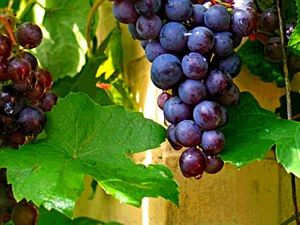Vitis 'Frankenthaler', vinranka. Odlas i Växthus. Stora blå druvor. Planteras i kalkhaltig jord.