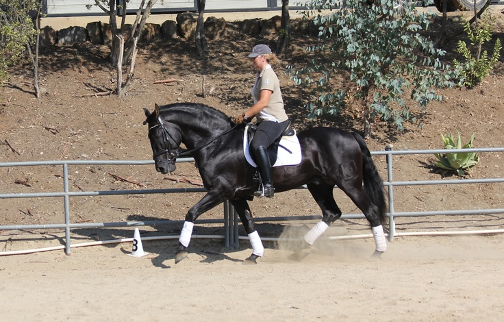 Primoroso XXXIII ~ PRE Stallion ~ For Sale  ~ 13 year old, 16.3 hh imported PRE stallion from Spain. He is currently working 3rd level, and schooling pirouettes, piaffe and passage. He is best suited for an adult amatuer in training. He is the sweetest horse, easy to handle, easy to sit and a joy to work with. Primoroso XXXIII has been revised as approved breeding stock with the Cria Caballar. Canyon Sport Horses http://canyonsporthorses.com