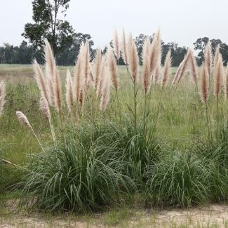 Common pampas grass | Cortaderia selloana