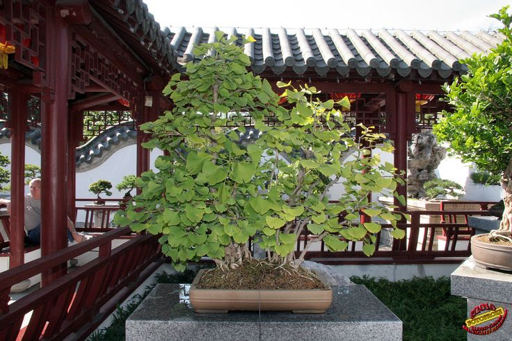 Bonsaï & Penjing - Ginkgo Maidenhair grove - Ginkgo biloba - Ginkoaceae - 40 years old - Donated by the Government of China C20100828 077   por fotoproze