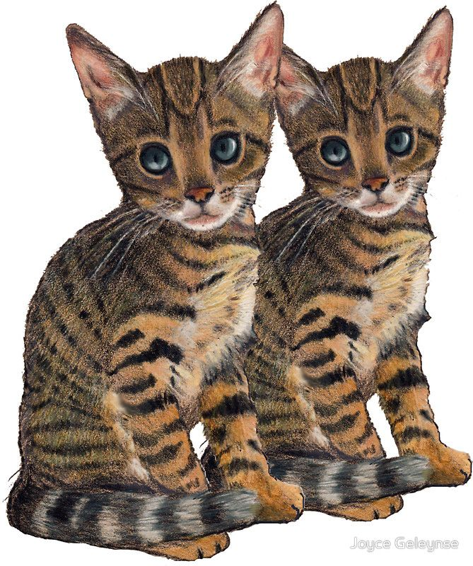 Bengal Kittens: Color Pencil Drawing of CATS