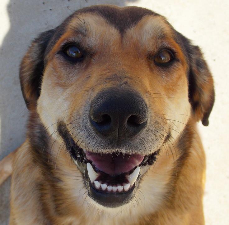 Yellow Lab Labrador Retriever Dog Shepherd Mix | Animals ...
