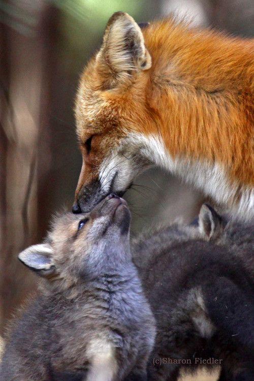 Red Fox Mom giving Kisses