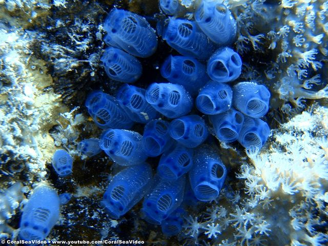 Macro shot of Blue Tunicates / Sea Squirts on the Great Barrier Reef near Port Douglas