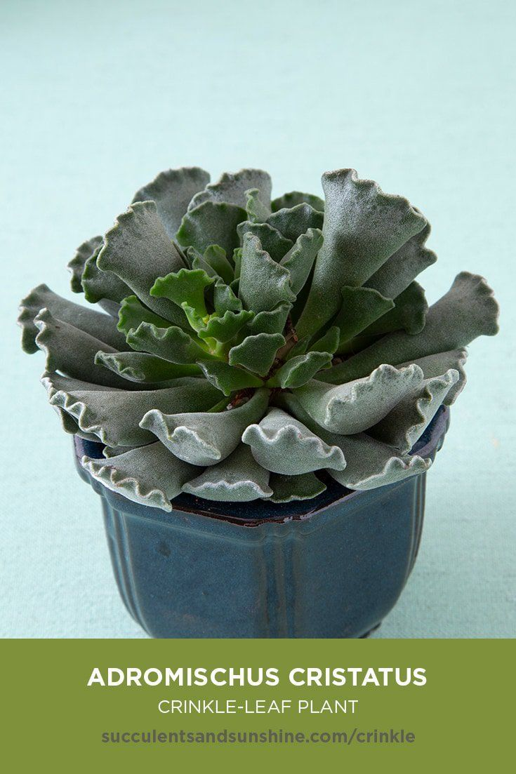 This small succulent grows well in the home or office.