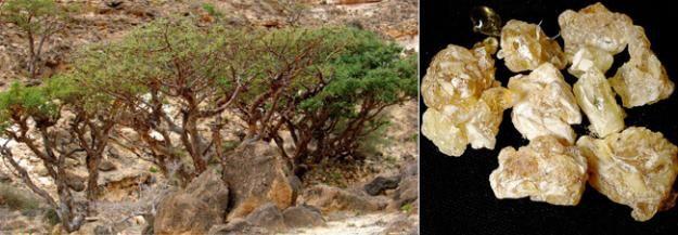 Frankincense - endangered Boswellia sacra tree