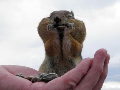 : Photos, Sunflowers Seeds, Squirrels, Jokes, Funny Pictures, Happy, Chipmunks, Funny Animal, Chubby Cheeks