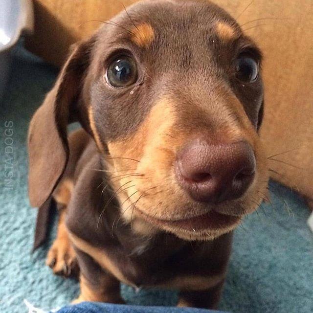 Puppy Dog Eyes Greatdanetraining Puppies Dachshund Breed