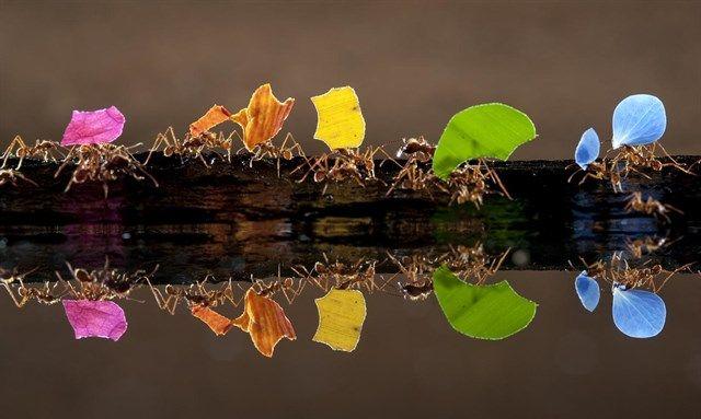El húngaro Bence Máté gana el premio Fotocam 2010 con una fotografía de hormigas transportando pétalos de flores