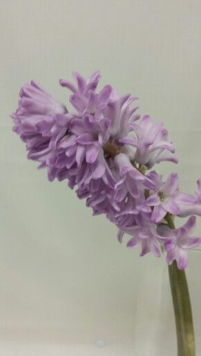 Svibel - Hyacinthus