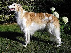 Borzoi es una raza de perro desarrollada en Rusia. El Borzoi desciende del galgo árabe, siendo parecido a un perro ovejero ruso. Anteriormente conocido como galgo ruso, fue originalmente criado para cazar lobos y liebres.