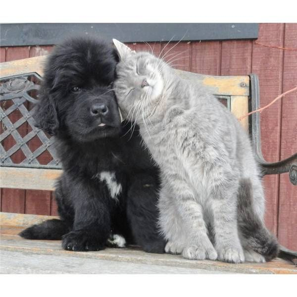 Besties. #NewfoundlandPuppy                                                                                                                                                                                 More