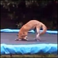 Wild Fox is Caught Having a Blast on a Trampoline - Funny Video#.UdpCC34Aog0.facebook#.UdpCC34Aog0.facebook