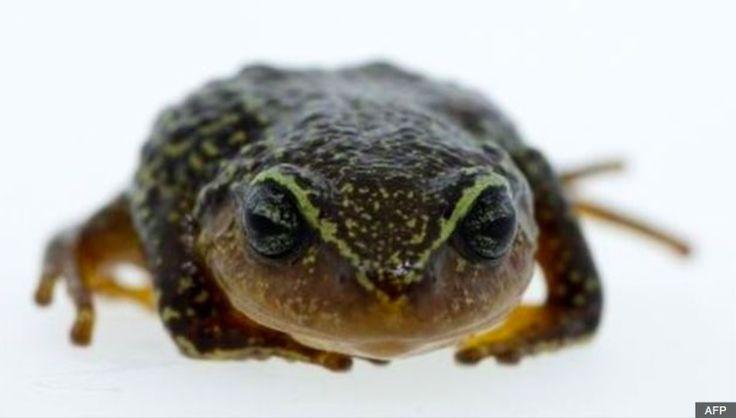 LaPristimantis macrummendozai, tel est le nom de la nouvelle espèce de grenouille terrestre tout juste découverte dans la cordillère des Andes orientale de Colombie. Particularité, elle est dotée de sourcils jaunes. Ce sont des scientifiques de l'Institut Humboldt qui ont annoncé ce mardi 8 mars, via un communiqué, avoir découvert une nouvelle espèce de grenouille terrestre. Dotée de sourcils jaunes, laPristimantis macrummendozai a été découverte dans la cordillère des Andes orientale, en…