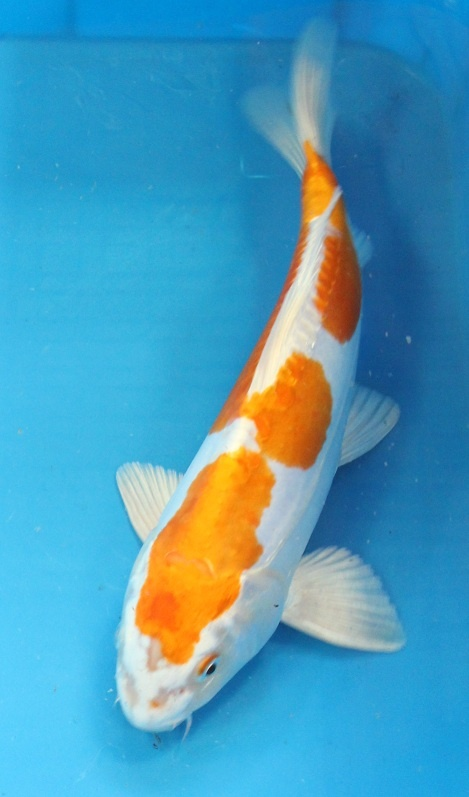 Doitsu hariwake my koi collection pinterest for Koi carp varieties