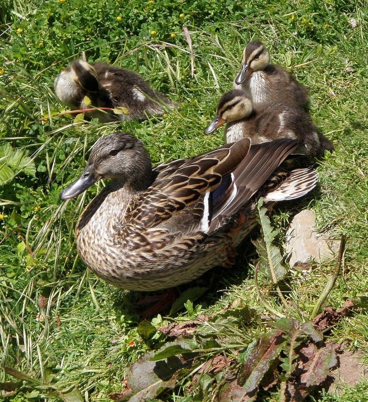 Descargar foto gratis de un pato y sus patitos > http://imagenesgratis.eu/imagen-de-un-pato-y-sus-patitos/