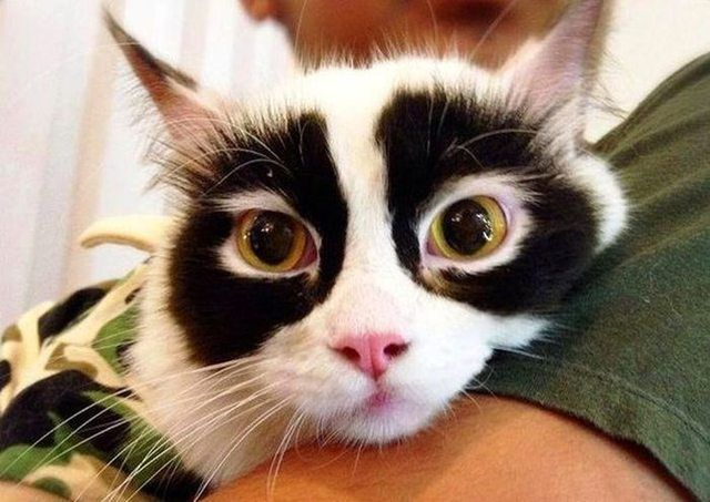 目の回りに黒い模様がある猫