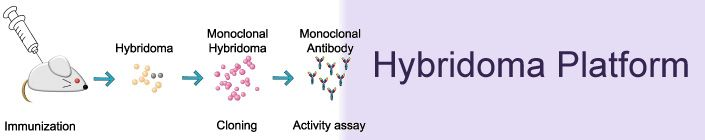 Creative Biolabs provides a full range of services in custom polyclonal and monoclonal antibody production from gene expression or peptide synthesis to antibody purification and labeling. We have the capacity of producing antibodies in either research quantities or in large scale for diagnostic industry. http://www.creative-biolabs.com/Hybridoma-Platform.html