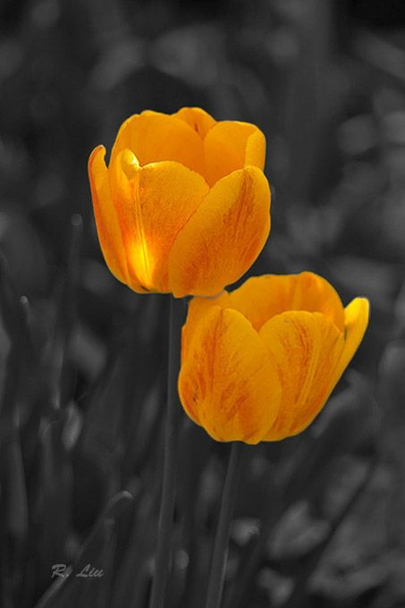 Yellow tulips, black and white splash of colors. Photo taken and made by Audrey Liu.