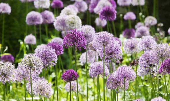 WITH spectacular spherical blooms, Allium 'Purple Sensation' and 'Globemaster' certainly live up to their names. They're inexpensive, too.