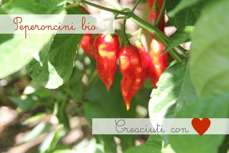 Coltivati sulle colline sopra il Borgo di Suvereto nel cuore della Toscana. http://www.gustiditoscana.it/peperoncino-biologico.html #spezie #genuino #bio #veg #madeintuscany