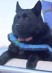 Bosun: Schipperke, Dog; Harmony, RI