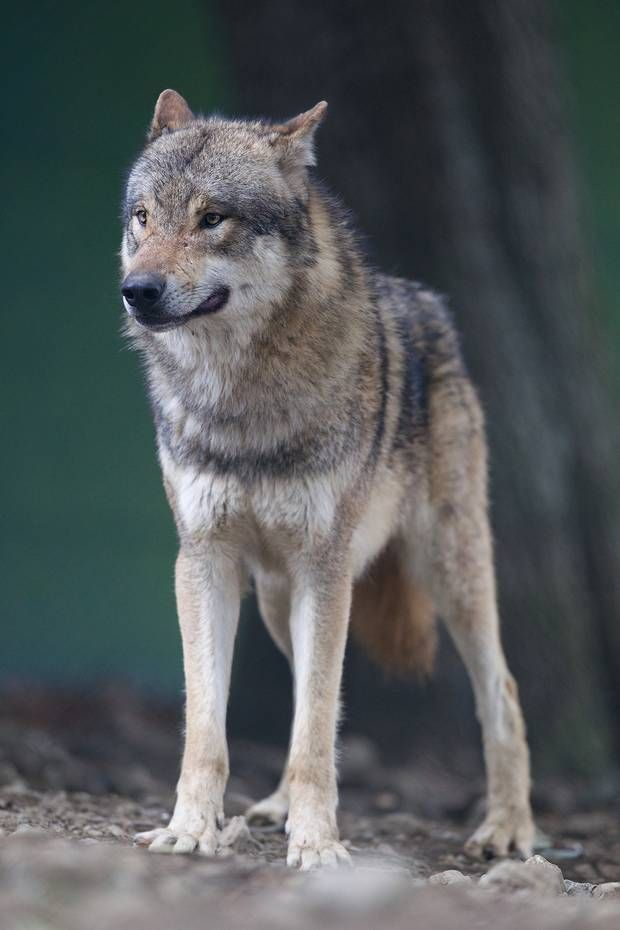 One of Dublin Zoo's new wolves keeps a watchful eye over his new home. Photo: Patrick Bolger.
