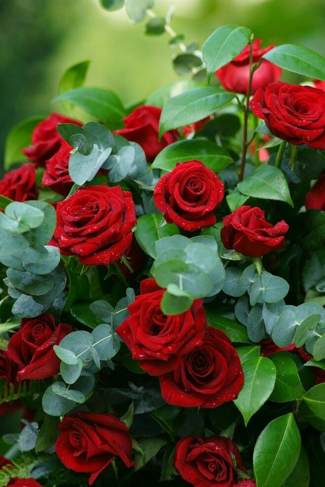 228 best red roses images on pinterest red roses - Fotos de flores preciosas ...