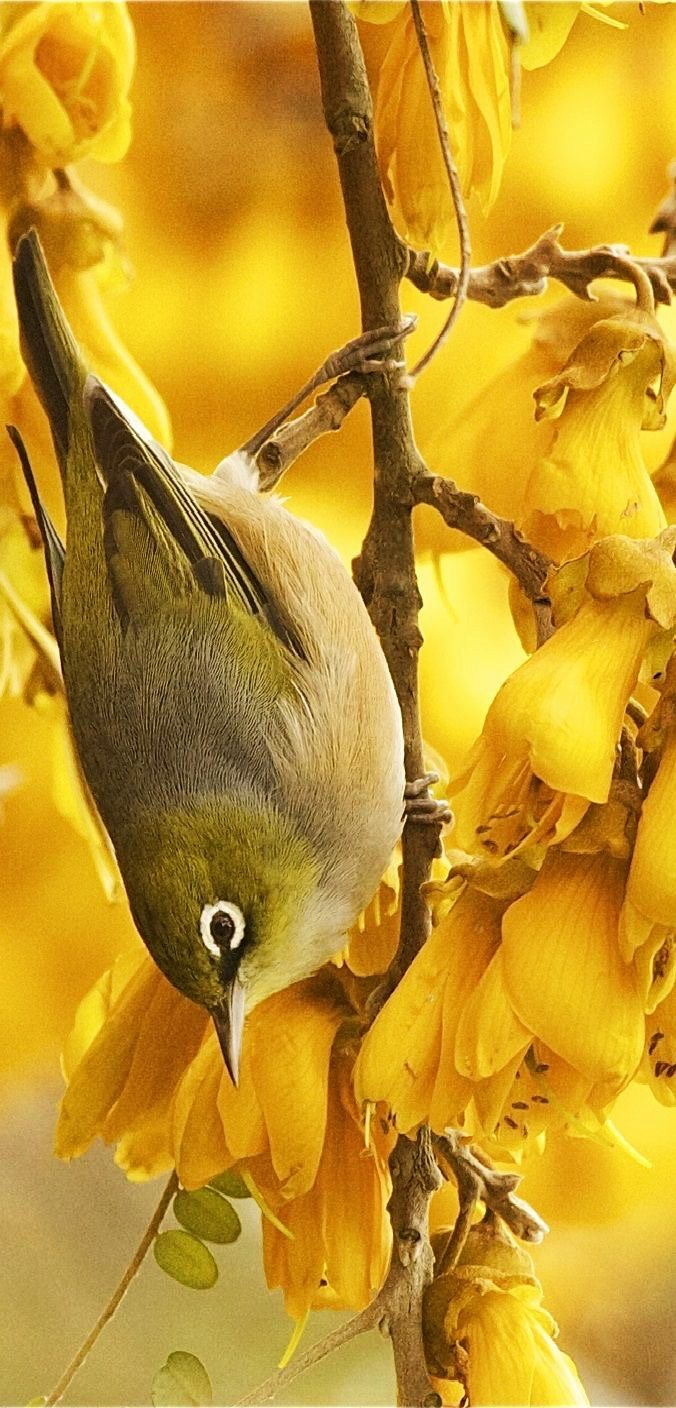 """Bill✔️  Wax-eye (Tauhou) having """"an absolute ball"""" in a massive cluster of food-rich  Kowhai flowers, a New Zealand early springtime scene. Winter can be quite hard for many birds, and for nectar-eaters, the Kowhai are the first food of the new summer season. Tui birds also wait and wait till Spring time, and will then fly up to 100kms to get the good food!      (Image curation & caption: @BillGP).  Bill Gibson-Patmore.  Bill✔️"""