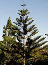 Araucaria Excelsa...Pino....un árbol con alma....donde quiera que yo vaya lo veo desde mi ventana...