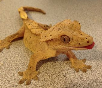 Crested Gecko care sheet / Brookshire Exotics