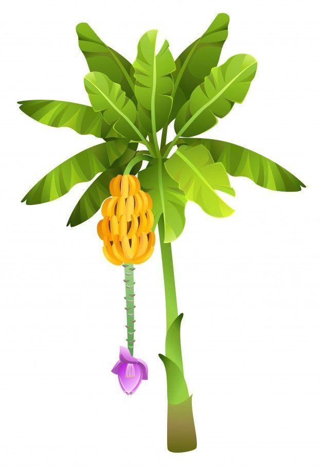 Tropical Jungle Banana Tree With Fruits Isolated 1000 Banana Tree Cartoon Banana Palm Tree Icon