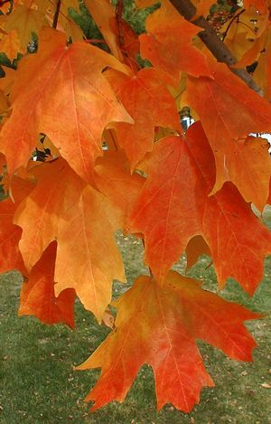 Acer saccharum 'Fall Fiesta' Fall Fiesta Sugar Maple from Prides Corner Farms