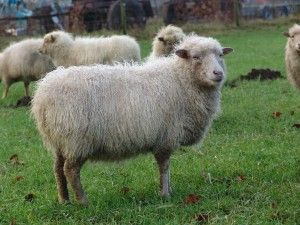 White Ouessant Ewe - Sheep Breed Information
