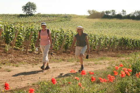 Self guided walking France chardonnay vines, Burgundy