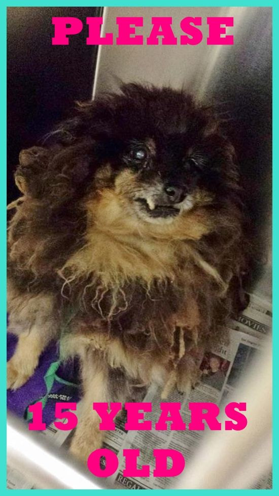 #A4787189 I'm an approximately 15 year old male pomeranian. I am already neutered. I have been at the Carson Animal Care Center since December 26, 2014. I will be available on December 30, 2014. You can visit me at my temporary home at C408. Carson Shelter, Gardena, California... https://www.facebook.com/171850219654287/photos/pb.171850219654287.-2207520000.1419809271./351922841647023/?type=3&theater