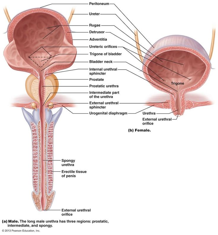 15 best Chapter 23: The Urinary System images on Pinterest ...