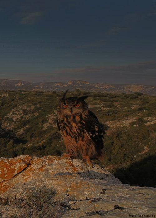 headlikeanorange:    A Eurasian eagle-owl (Wild France)