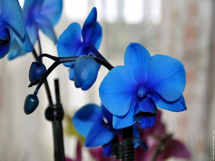 Photo Orchidee bleue - Huile Orchidee bleue - Clarins