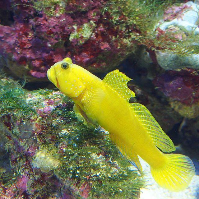 【notari_hinemosu】さんのInstagramをピンしています。 《#水族館#水槽#アクアリウム#ギンガハゼ#ハゼ#魚#鴨川シーワールド# Yellowprawngoby#goby#Aquarium》