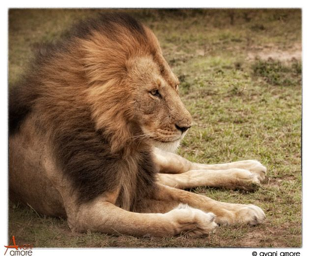 Lion of the Masai Mara.  Wind swept main just waiting for that opportune time to hunt. One of two brothers.  Such Undeniable Confidence brings peace to the heart.  Photo by #avaniamore  www.avaniamore.com