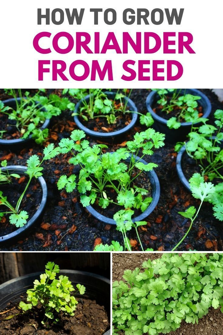 How To Grow Coriander From Seed Amaze Vege Garden in