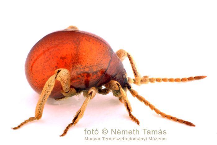 Csupasz hólyagbogár (Gibbium psylloides)